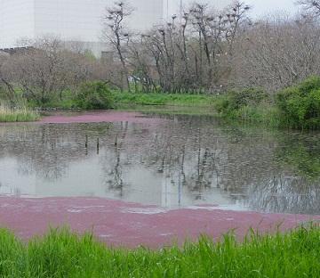 ピンクの水面.jpg