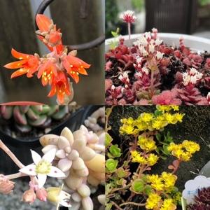 多肉の花.jpg